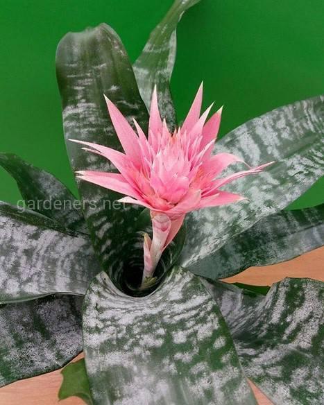 Бромелиевые - растения из тропических лесов Бразилии. Самые популярные типы