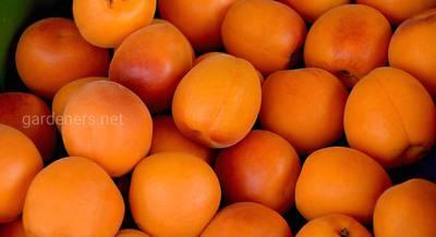 посадка абрикоса.jpg