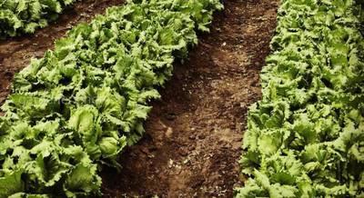 Власний експеримент вирощування салатів з використанням Живої Хлорели