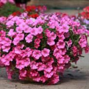 Рассада цветов для балконов и дач! Тепличное хозяйство!