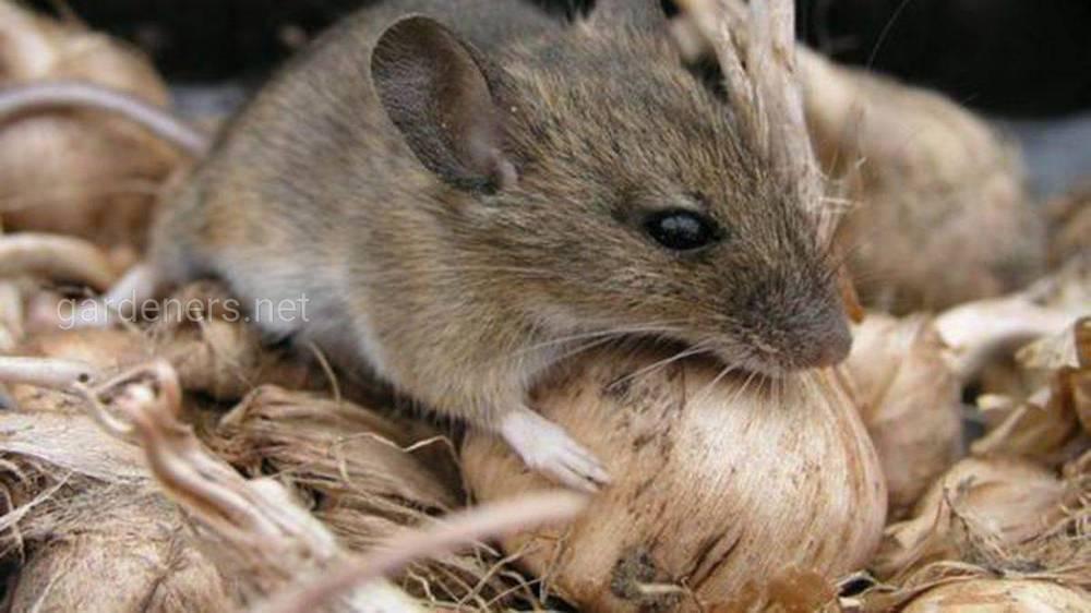 Як захистити будинок від щурів і мишей