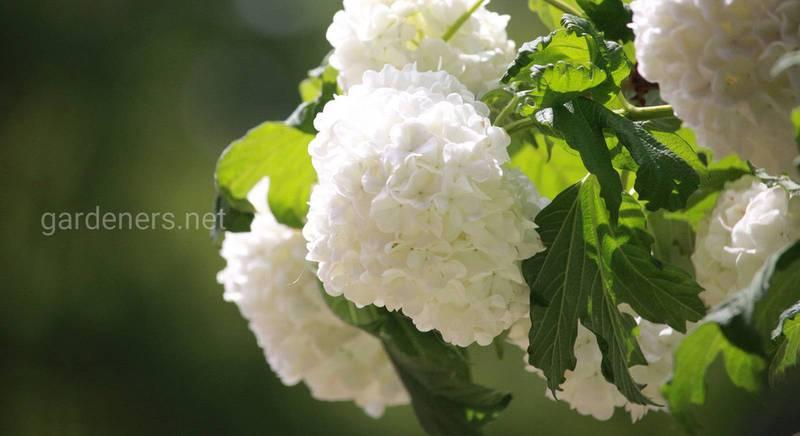 ТОП-8 кращих видів білих квітів і їх сорти