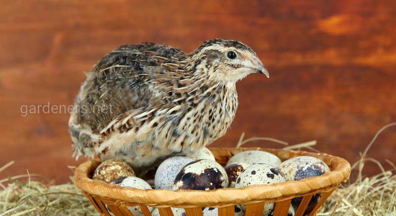 Популярні породи перепелів з описом та фото: яєчні, м'ясні, м'ясо-яєчні
