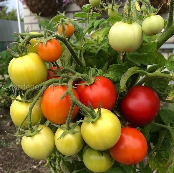 Какие процедуры необходимо выполнять для достижения больших плодов томатов и сокращения времени их созревания?