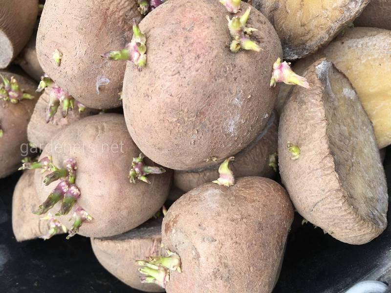 В чому перевага посадки пророслих бульб картоплі?
