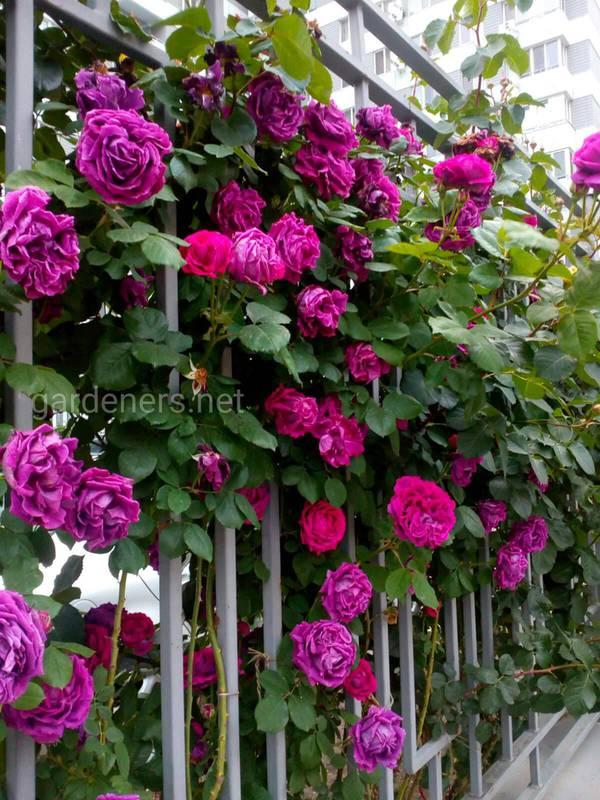 Які умови необхідні для успішного вирощування плетистих троянд? Які виділяють види?