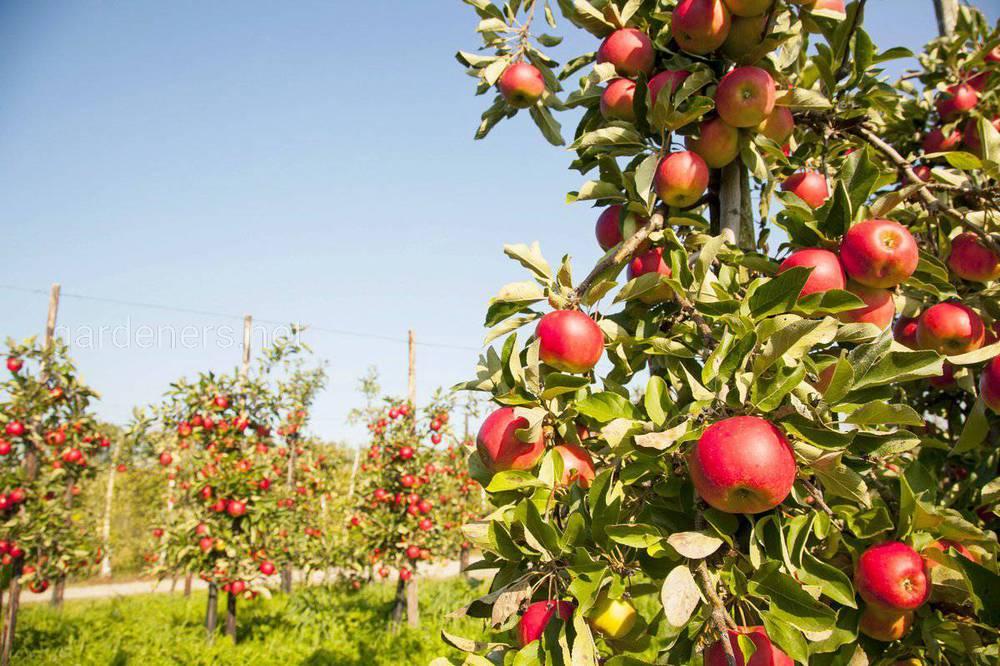 Карликові яблуні