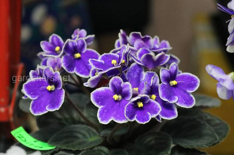 Фиалка узамбарская (или сенполия) является популярным комнатным растением