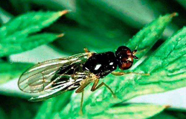 Натуральные методы борьбы с луковой мухой!