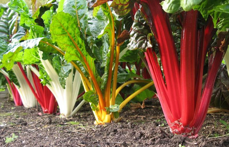 Как выращивать и использовать мангольд и цикорий салатный?