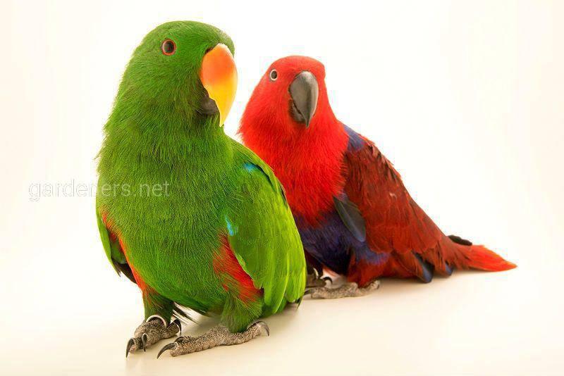 Птица Зелено-красный попугай эклектус