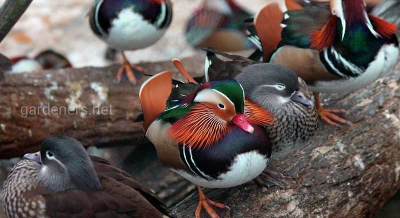 Декоративні породи качок