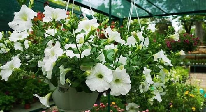 Петуния - королева летних садов!