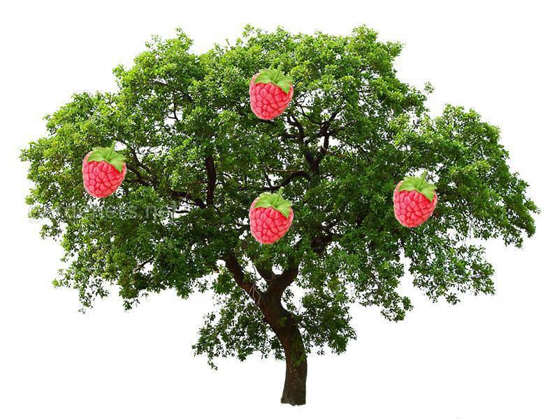 Миф о малино-дереве