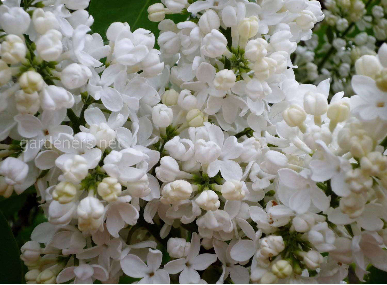 Syringa vulgaris Madame Florent Stepman.jpg