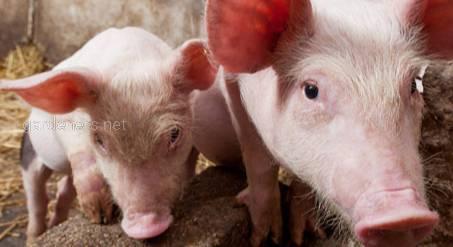 Поточна ситуація в Україні сприятиме подальшому зростанню імпорту свинини