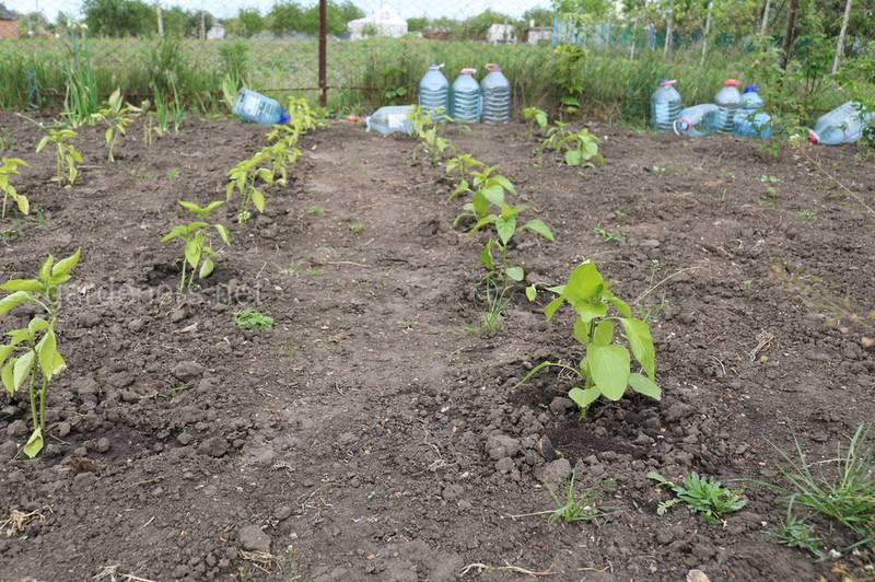 Как правильно высевать перец на рассаду в зависимости от сорта?
