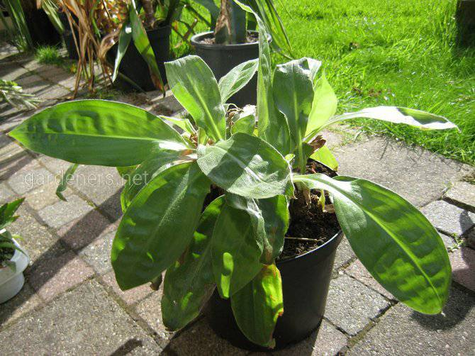 Які умови потрібні для вирощування палісота?
