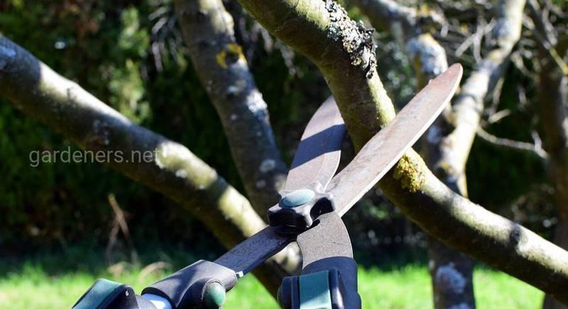 Омолаживающая обрезка деревьев и кустарников