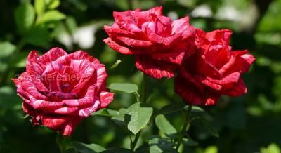 Обрезка розы летом.JPG