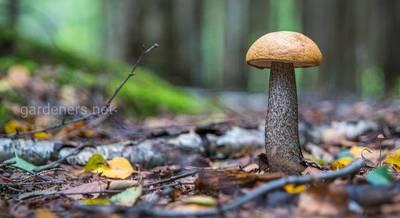 Лисички, подосиновики и белые грибы: лекарственные свойства даров леса