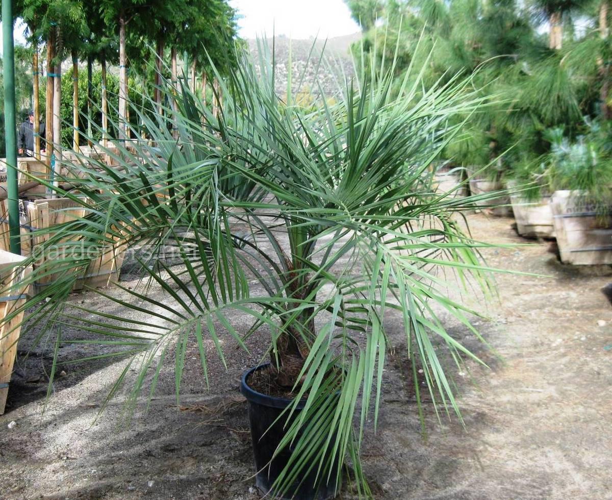 Бутия - уход за пальмой