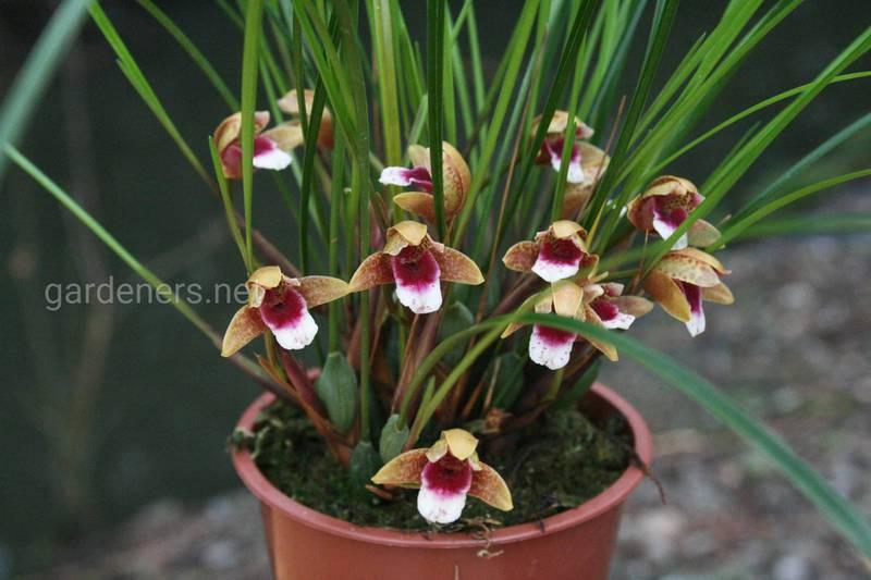 Як правильно поливати та підживлювати орхідею?
