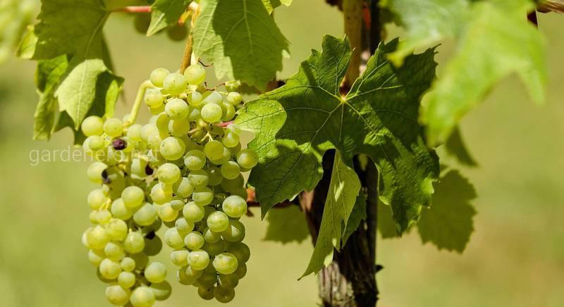 Навіщо обрізати виноградну лозу, і коли це краще робити