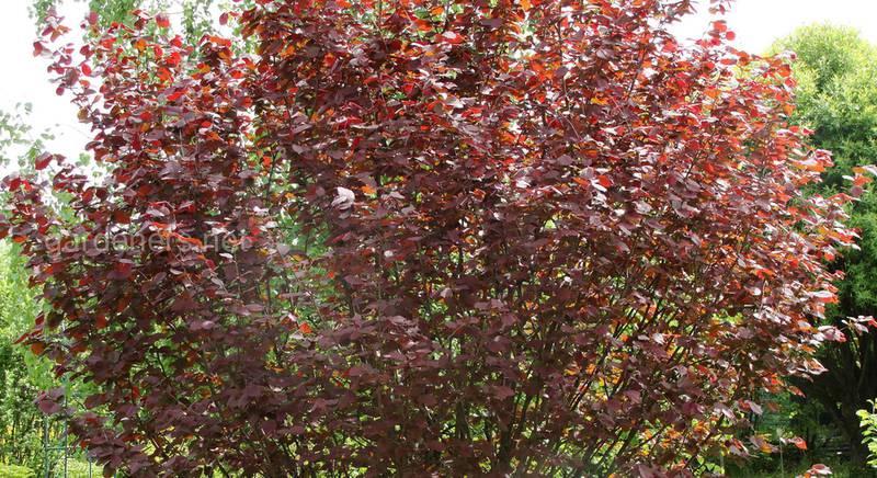 10 популярных сортов лещины с красными листьями