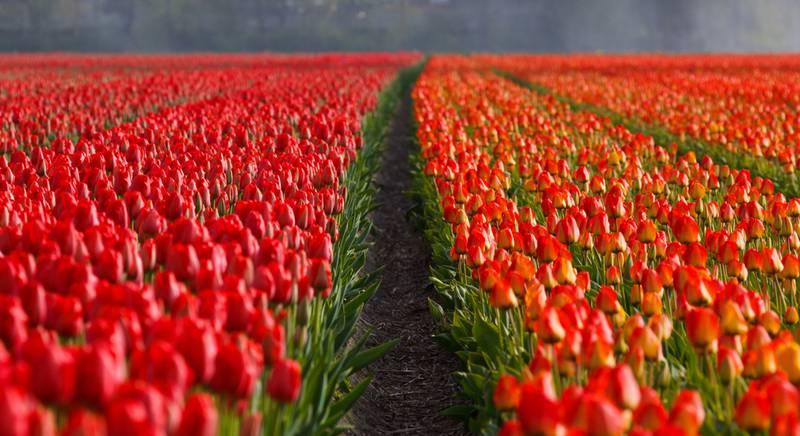 tulips-21690.jpg