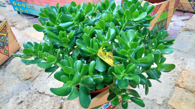 Суккуленты - благородные комнатные растения!