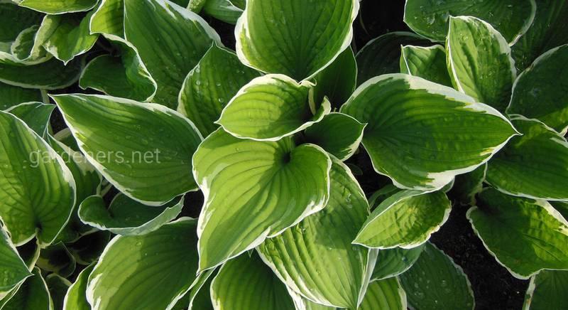 Хоста и ее партнеры: учимся сочетать многолетник с другими растениями