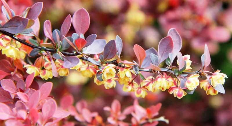 Красивые витаминные кустарники: актинидия, лимонник китайский, барбарис