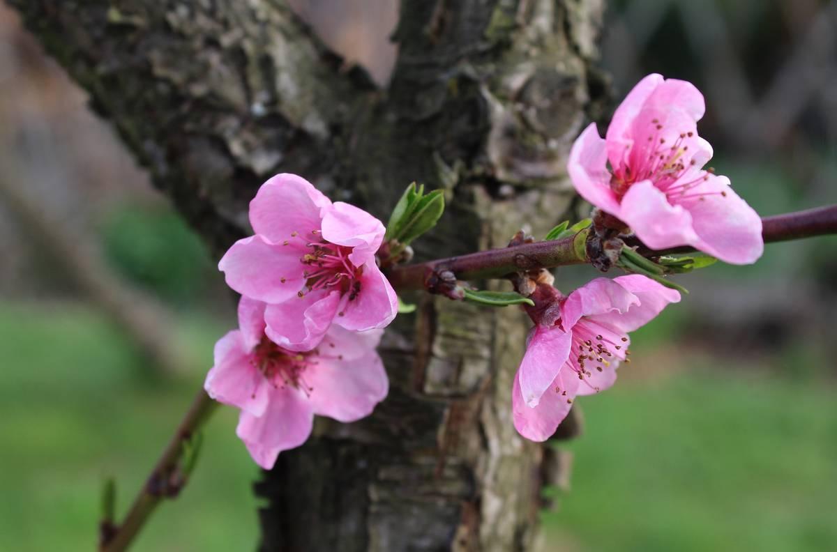 цветение персика