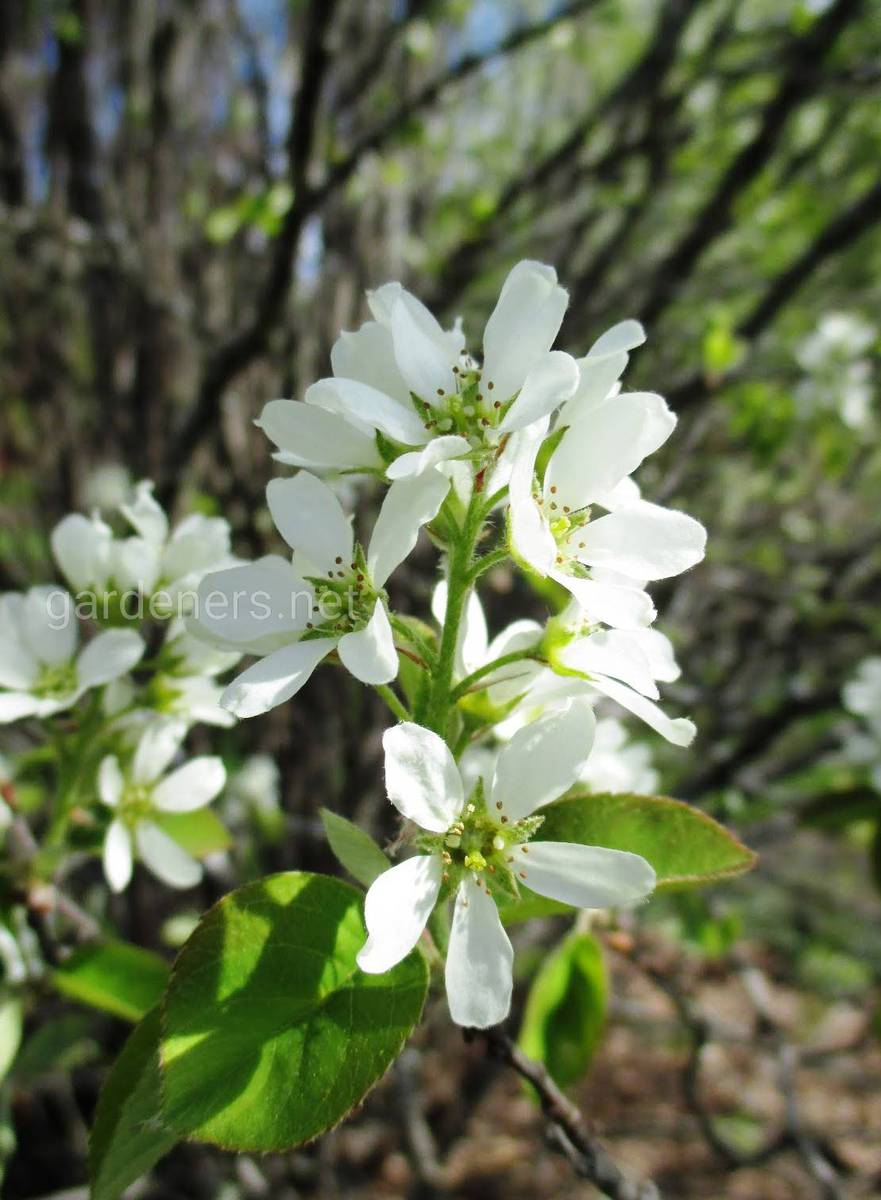 цветение ирги