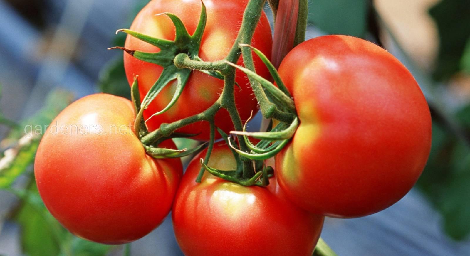Сорта помидор и картинки