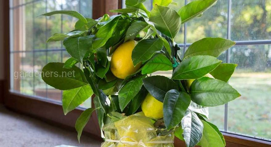 комнатный лимон дома.jpg