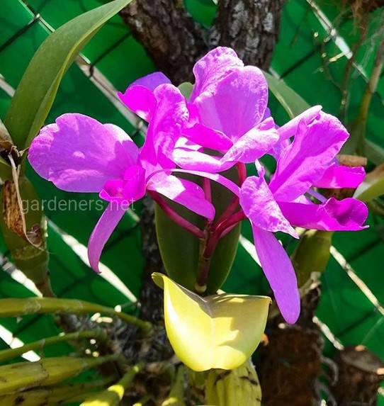 Cattleya skinneri