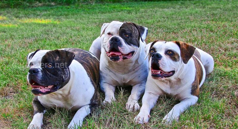 Бійцівські собаки