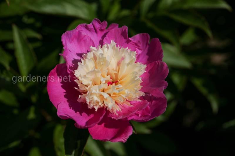 Як виростити гарну та рясно квітучу півонію?