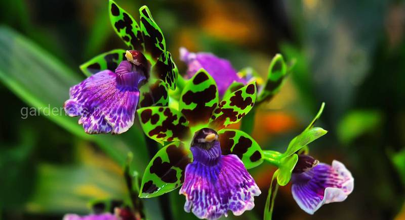 Орхидеи голубой мечты – Зигопеталумы и Максиллярии