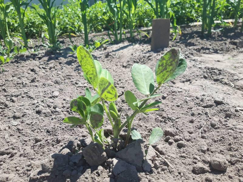 Як правильно посіяти та доглядати за посівами арахісу?