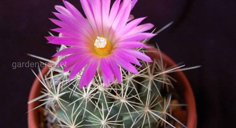 Корифанта: полив, удобрение, освещение и другой уход за цветущим кактусом