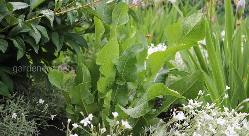 Целебные свойства листьев хрена