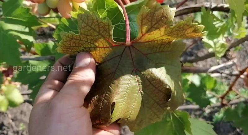 Для чого видаляють нижнє листя лози та обрізають верхівки пагонів винограду?