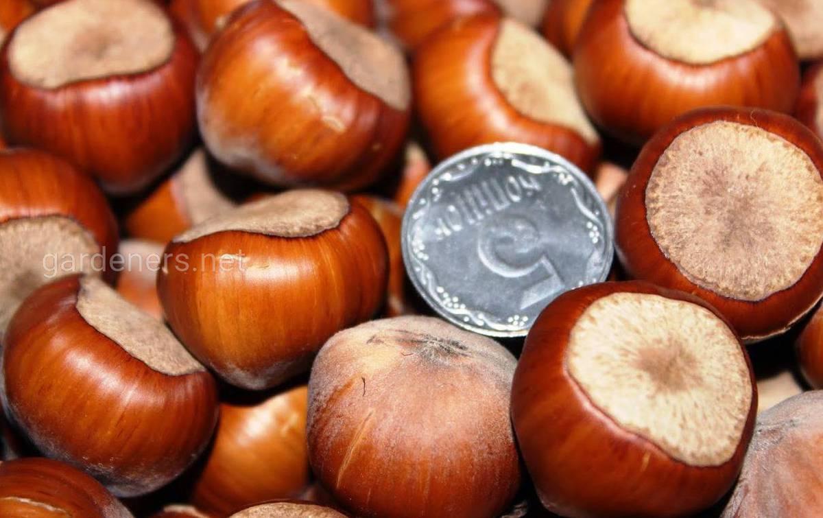 орехи фундук трапезунд