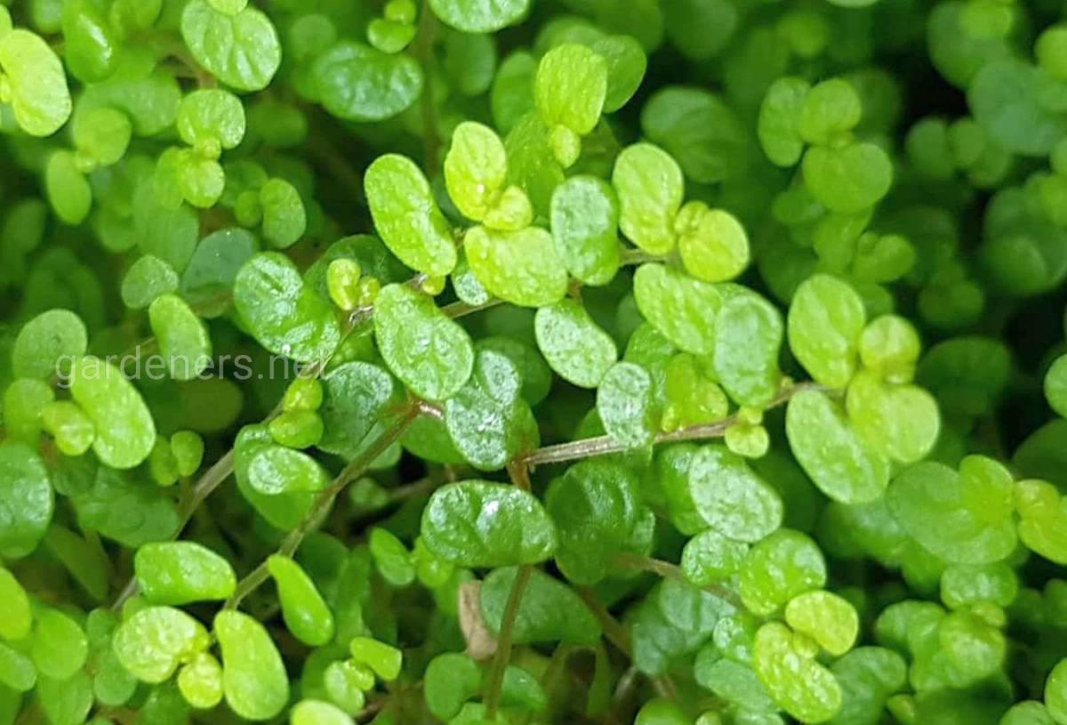гелксина выращивание