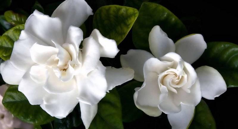 Гардения комнатная - вечная весна в вашем доме
