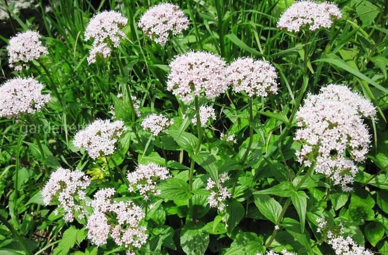 Какая почва необходима для выращивания лекарственных растений в органическом земледелии?