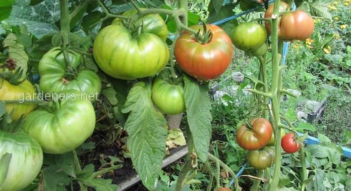 Выращивание томатов. От рассады до урожая